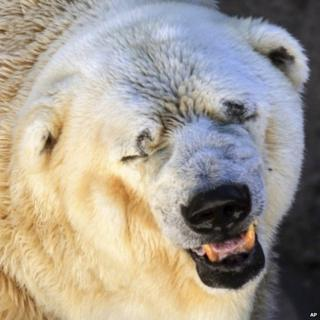 Polar bear in Argentina Zoo, said to be depressed