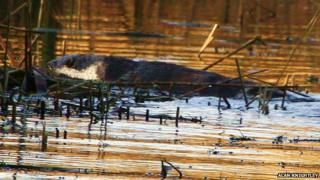 An otter was photographed at Attenborough