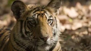 Tiger in the wild. File photo