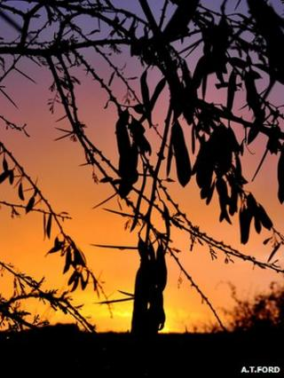 Silhouette of Acacia etbaica (Image: A. T. Ford)
