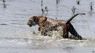 Tiger in the Sundarbans