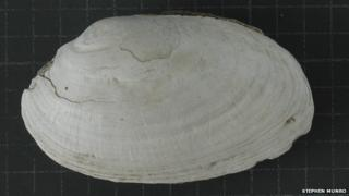 Fossilised fresh water mussels