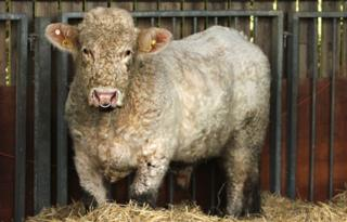Benjy the gay bull at Hillside Animal Sanctuary