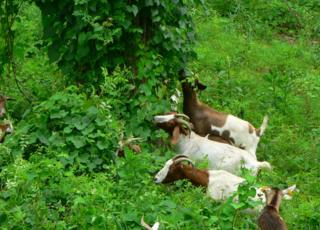 Eco goats in action