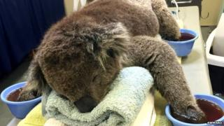 Injured koala receives treatment