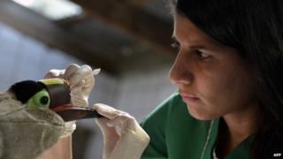Veterinarian Carmen Soto examines a toucan which lost part of its beak on 4 February 2015