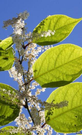 Japanese knotweed (Image: Science Photo Library)