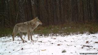 Wolf (Image courtesy of the Tree research project)