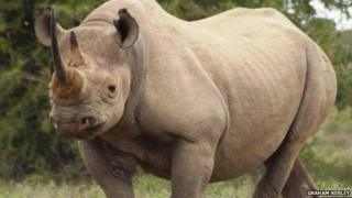 The threatened black rhino