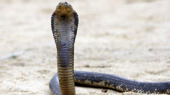 Cobra fang club
