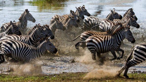Стадо зебр пересекает реку