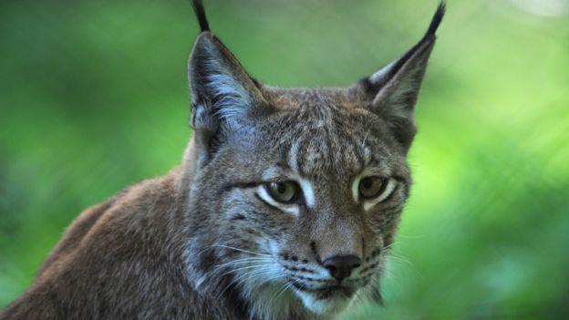 Eurasian lynx in German zoo
