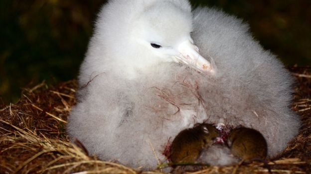 Tristan albatross chick with mice