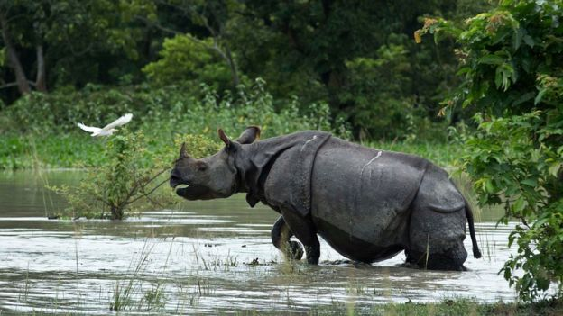 A rare one-horned Rhinoceros wades through flood waters. Assam's Kaziranga National Park was reported to be more than 80% under water