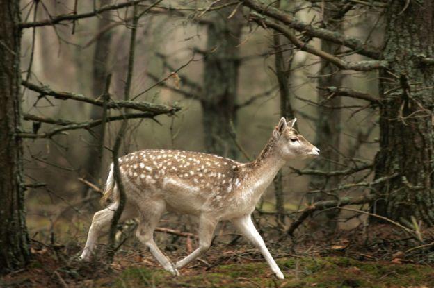 گوزنی در پارک ملی بلاوژسکایا پوشچا