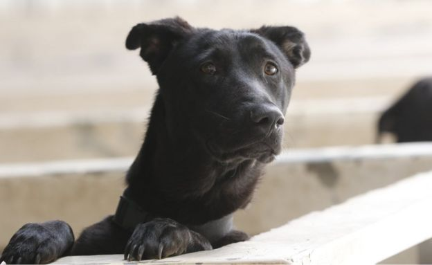 A black dog in the shelter, looking at the camera