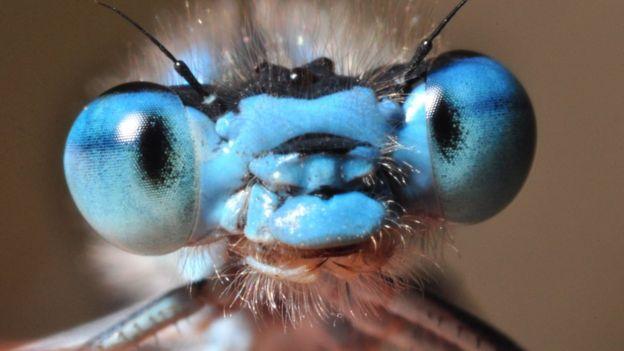 Libélula azul común