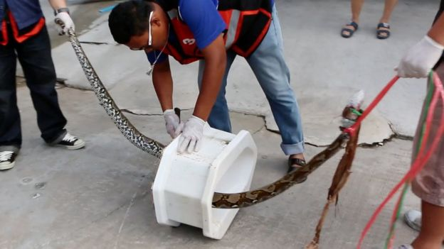 Snake being pulled from toilet. 26 May 2016