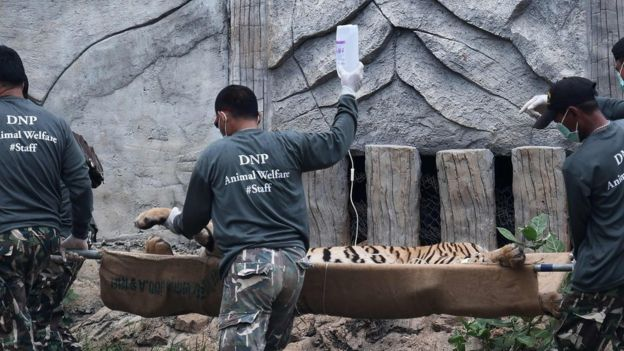 Thai wildlife officials carry a tiger on a stretcher as they remove it from an enclosure after it was anaesthetised