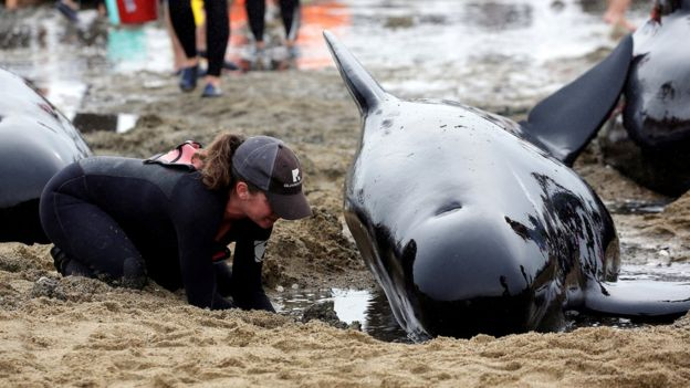 A volunteer tends to a whale as they prepare to refloat them after one of the country's largest recorded mass whale strandings, in Golden Bay, at the top of New Zealand's South Island, 12 February 2017