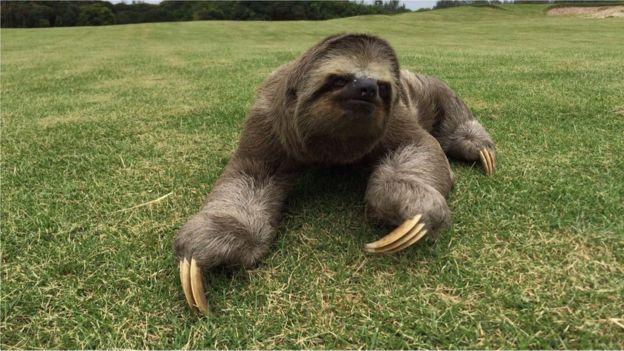 Bicho-preguiça no Campo de Golfe da Rio 2016