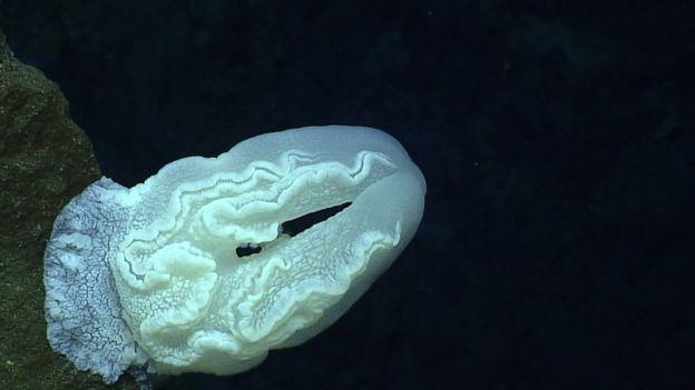 Água-viva-de-pente