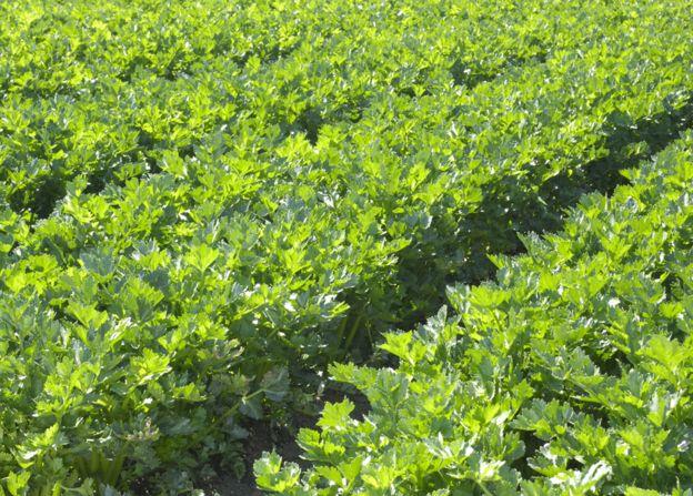 A field of celery