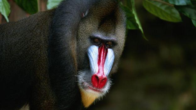 Mono babuino