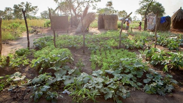 Faida Sarah's vegetable garden in the Bidi Bidi settlement