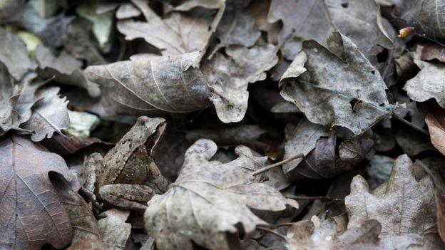 Лягушка (Rana dalmatina)