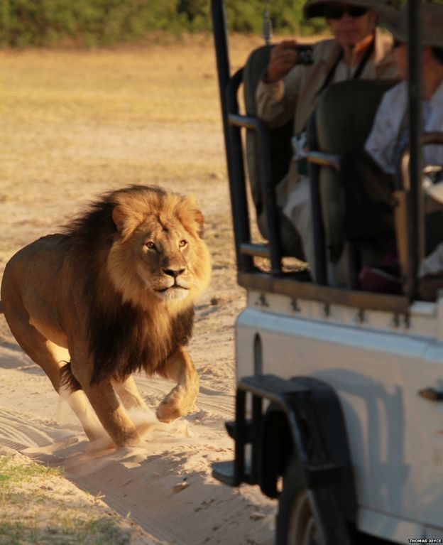 Cecil the lion chasing a jeep
