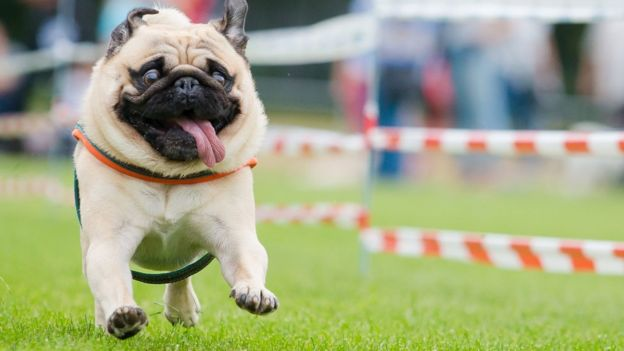 health concerns with 'flat-faced' dogs