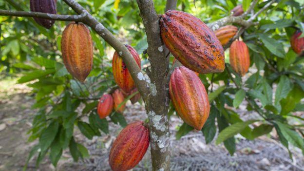 Árbol con grandes frutos de cacao