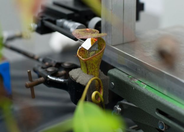 A pitcher plant in the experimental setup