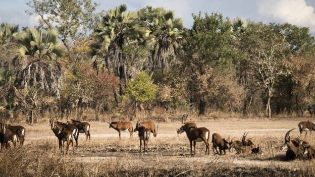 Wildlife is returning to the park - like this group of sable antelopes