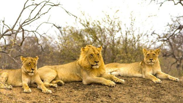 В отличие от других кошачьих, львы живут вместе