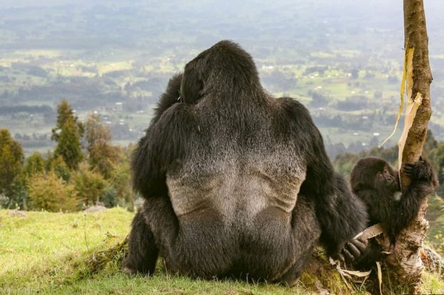 A silverback gorilla near the Volcanoes National Park, Rwanda
