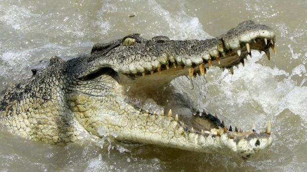 A large saltwater crocodile shows aggression as a boat passes by on the Adelaide river 60 kilometers (35 miles) from Darwin in Australia's Northern Territory, Saturday, Oct. 15, 2005.