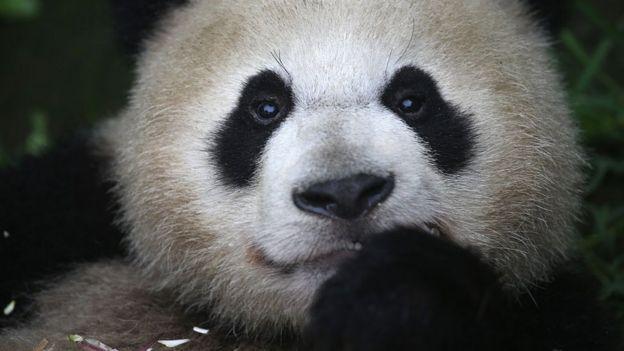 Un panda gigante comiendo bambú. en junio de 2015, en China.