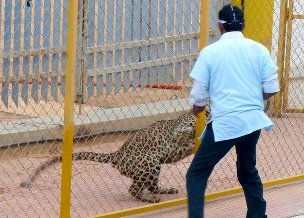 Leopard in school