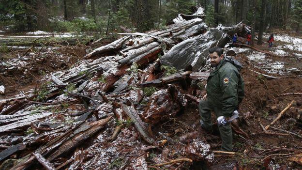 Árboles muertos en California
