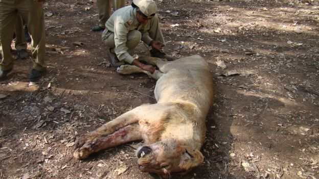Rasila Vadher treating a lion