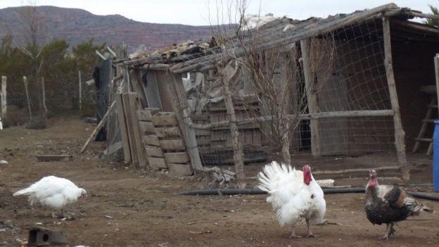 Pollos y pavos en la granja del hijo de Albino Campo