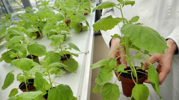 Plantas de Nicotiana benthamiana, una variedad de tabaco