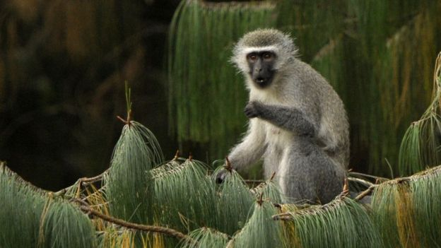A female vervet monkey eats while seated on a pine branch in Balgowan on June 27, 2010
