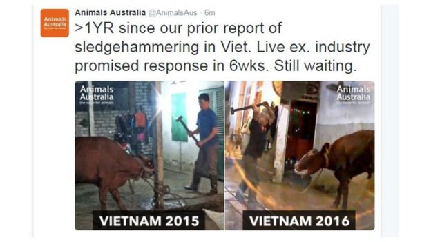 Tweet from Animals Australia showing pictures of cows allegedly being mistreated in Vietnam both in 2015 and 2016