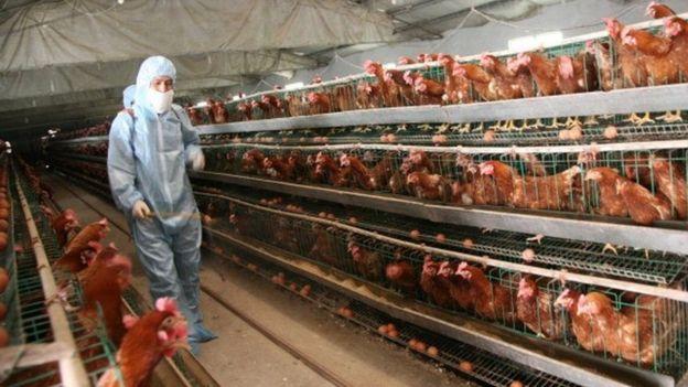 Un criadero industrial de pollos
