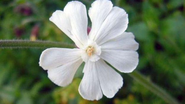 Planta de la especie Silene stenophylla