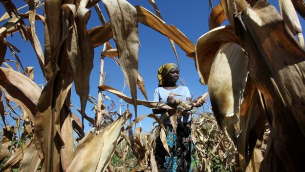 A subsistence farmer harvests maize on her small plot in Norton, a farming area outside Zimbabwe's capital, Harare - 10 May 2016