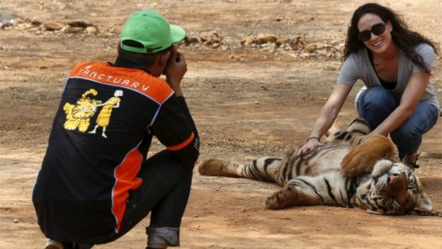A tourist poses with a tiger at the Tiger Temple in Kanchanaburi province, west of Bangkok, Thailand (file image)